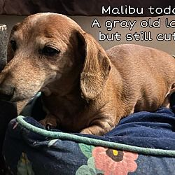 Henderson Nevada Dachshund Meet Malibu But Goes By Puppy Most Of The Time A For Adoption Https Www Adoptapet In 2020 Adoption Dog Adoption Dachshund Adoption