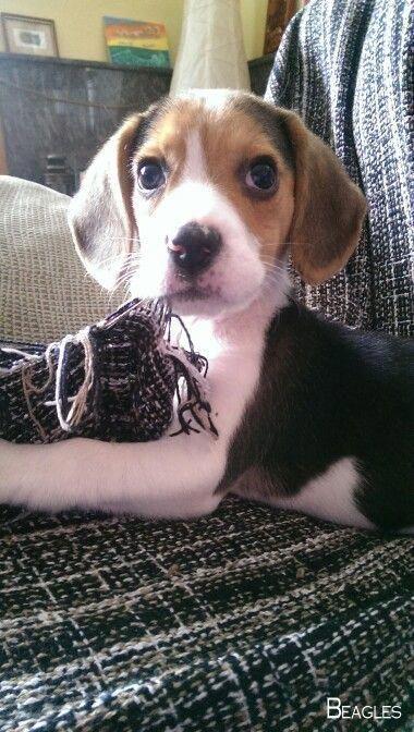 Beagle Tips Beagle Beagle Dog Beagle Beagle Puppy