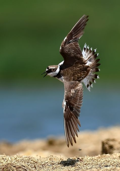 Plover By Murat Caliskanon 500px Com Beautiful Birds Plover Birds In Flight