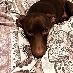 Florence South Carolina Dachshund Meet Daniel A For Adoption Https Www Adoptapet Com Pet 24910591 Florence South Dachshund Adoption Pet Adoption Pets