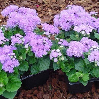 Ageratum Aloha Blue F1 Flower Seeds Flowers Blue And Purple Flowers