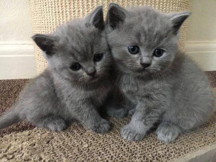 Lovely British Shorthair Kittens For Sale الكويت 34184 Kittenheelsoutfit Siamesekittens Kittenv In 2020 British Shorthair Kittens Kittens Cutest Kitten Gif