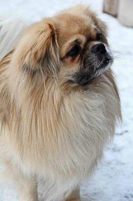 121 Best Tibetan Spaniel Dog Names Tibetan Spaniel Dog Names Spaniel Dog