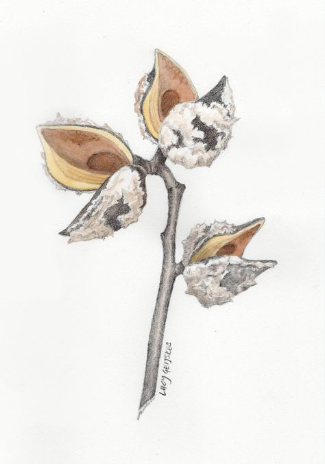 Hakea Seed Pod Drawing by Lucy Geijskes