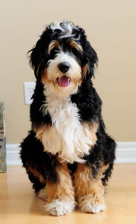 1 Year Old Standard Bernedoodle St Bernard Poodle What A Cute