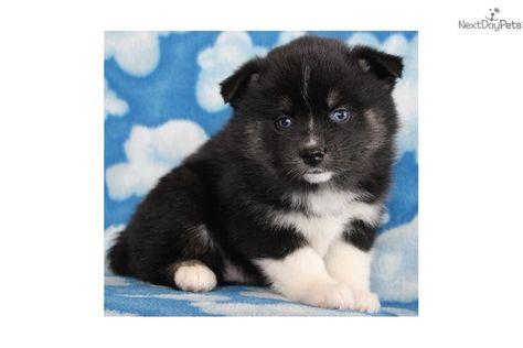 Pomsky Puppy For Sale Near Des Moines Iowa 447ec130 Ad01