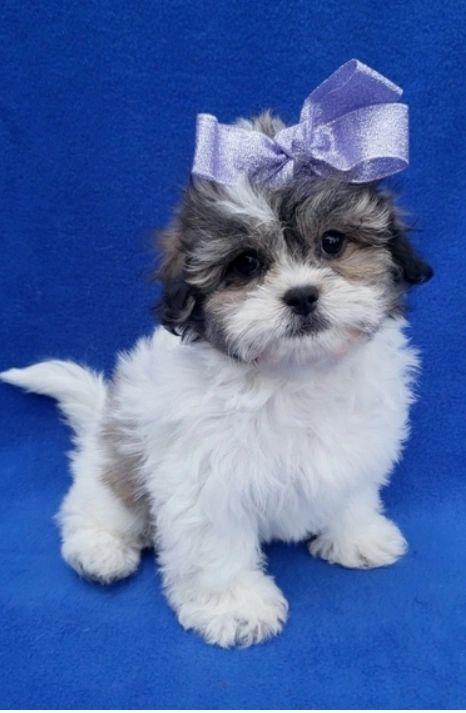 50 Discount Sales In 2020 Shitzu Puppies Shichon Puppies Shih Tzu Puppy