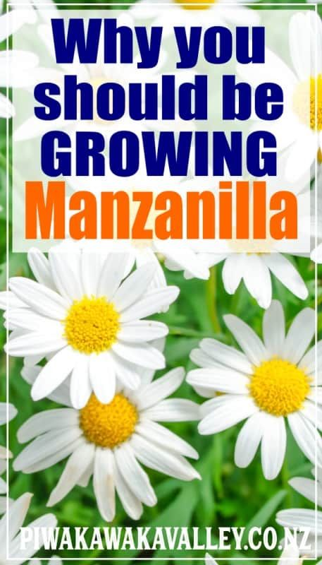 Manzanilla Tea What Are The Benefits Of Chamomile Tea In 2020