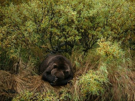 Safely bedded down, a brown bear takes a nap after fishing in the Katmai National Park and Preserve of southern Alaska.