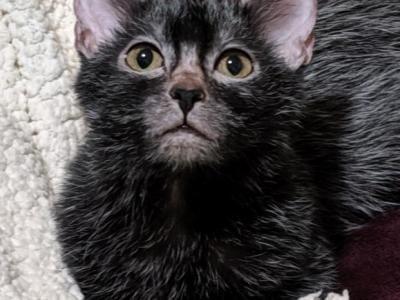 Lykoi Male Female Lykoi Kittens For Sale In Wisconsin United States Profile Id 24419 In 2020 Kittens Bambino Kitten Kitten For Sale