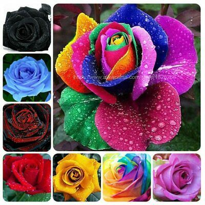 100//200Pcs Colorful Rainbow Rose Flower Seeds Home Garden Plants Color new.