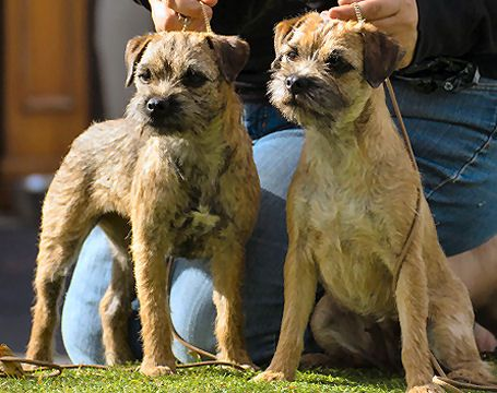 Border Terrier Dog Breed Information Border Terrier Dog Breeds