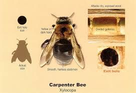 Carpenter Bees Sting Carpenterbees Bumblebee