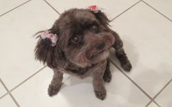Adopt Sarah On Poodle Rescue Cockapoo Dog Pet Adoption