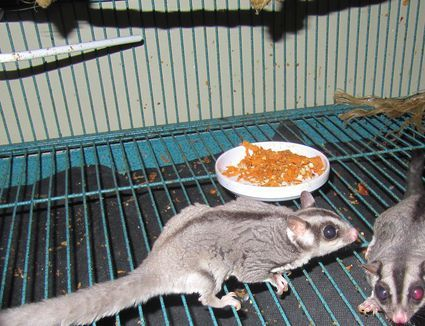 Figuring Out What To Feed Your Sugar Glider Sugar Glider Cage