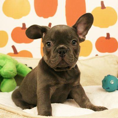 English Bulldog Puppies For Sale Bulldog Puppies French Bulldog White French Bulldog Puppies