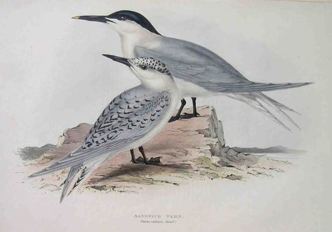 Gould S Birds Sandwich Tern Sterna Cautiaca Starinnye Karty I Printy Majkla Dzhenningsa Printy Starinnye Karty Karta