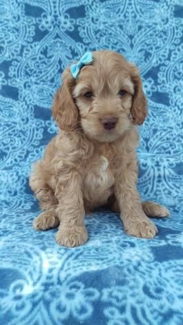 Cockapoo Puppies For Sale Cockapoo Puppies For Sale Cockapoo