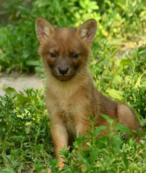 d9e9969a50574b1e8fdded0e51c368b6.600x.  The Dhole puppy is similar to the wild dogs of Africa.
