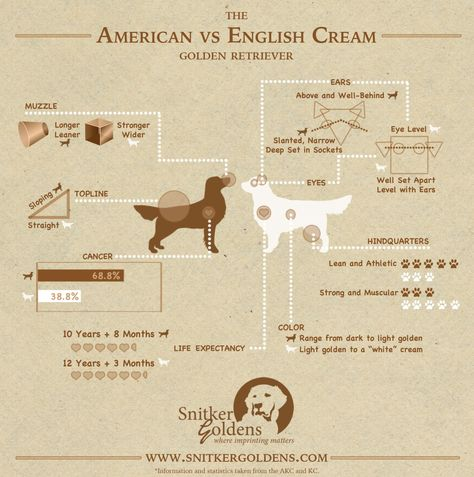 American vs English Cream Golden Retriever Infographic
