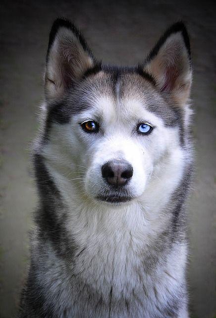 Free Image On Pixabay Husky Dog Siberian Husky Siberian
