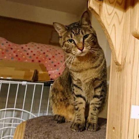 毛柄が似ている キジトラ猫 と サバトラ猫 比べてみました ねこのきもちweb Magazine キジトラ猫 猫 トラ猫