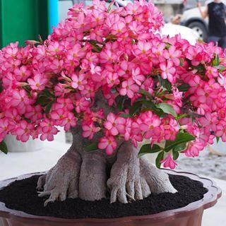 100 Gambar Adenium Arabikum Terbaik Di 2020 Bunga Kebun Tanaman Gurun