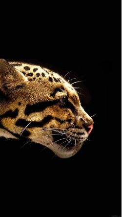 Wallpaper Wild Cat B Animal Wallpaper Iphone Hd