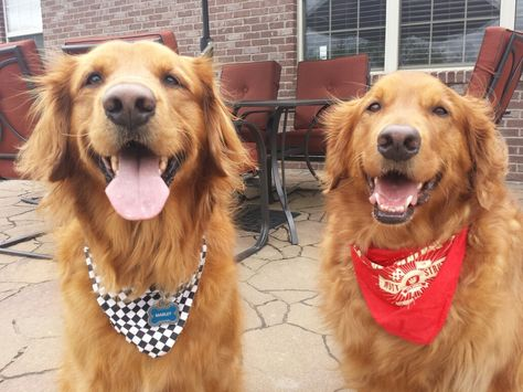 Check out our race bandanas! We are ready for the Indy 500. - Marley and Sadie