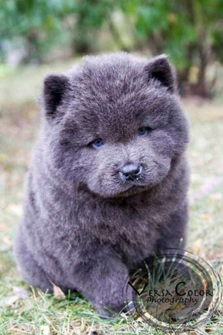 Stunning Blue Chow Chow Puppy My Goodness That Truly Is The Face