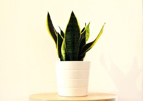 Piante Da Appartamento Zamia Pumila.Cuidados De La Sansevieria Una Planta Ideal Para Conciliar El