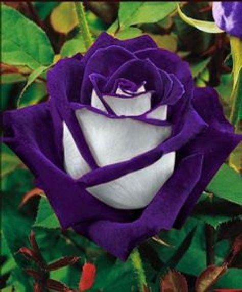 White heart Purple rose flower seeds Μοβ λευκο τριανταφυλλο Listing for 20 seeds How to grow: Soak the rose seeds overnight. Then in the morning strain the seeds of and then - wait for it - place into a blender with some more fresh water. Turn the blender on to LOW and wizz for a few seconds in