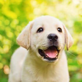 Labrador Retriever Breed Labrador Retriever Labrador Retriever