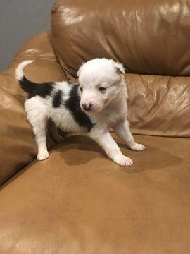 Toy Aussie Puppies For Sale In Al Az Ar Ca Co Ct De Fl Ga Id Il In