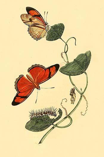 Surinam Butterflies Moths Caterpillars By Jan Sepp 10 Art Print Butterfly Art Caterpillar Tattoo Art