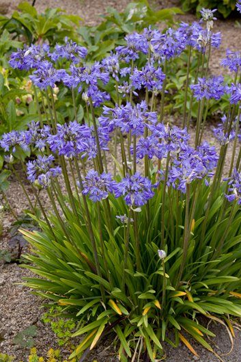 Plants Image By Foster Dillard Agapanthus Plant Agapanthus Herbaceous Perennials
