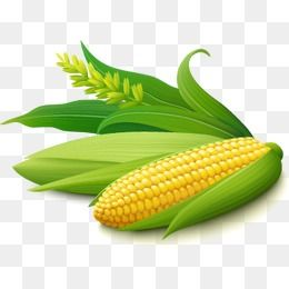 Golden Corn Vector Material Golden Corn Green Leaves Crop Png Transparent Clipart Image And Psd File For Free Download Corn Plant Corn Fruit Painting