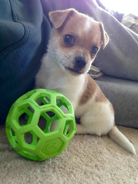 Hurco Our Jackhuahua Puppy Chihuahua X Jack Russell Jack