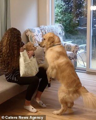 Adorable Moment Golden Retriever Is Surprised With His New Brother