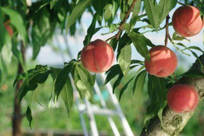 Strawberry Free Peach Info What Is A Strawberry Free White Peach Peach Trees Dogwood Trees Repotting Orchids