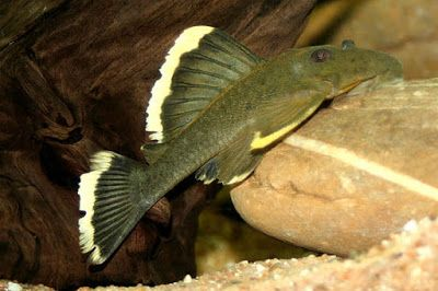 The Best Freshwater Algae Eaters For Tropical Tanks Magnum Pleco Distribution This Fish Endemic To The Rio Xingu Basin In Para In 2020 Fish Rare Fish Tropical Tanks