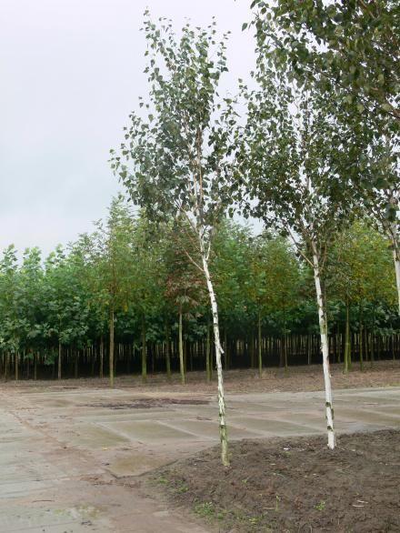 Himalaya Birke betula utilis jaquemontii himalaya birke plant combi