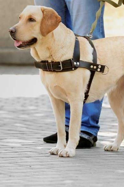 Top Activities For Helpful Dogs Wag Labrador Retriever