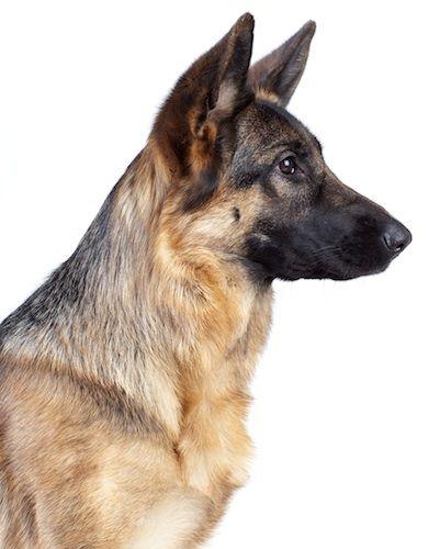 Image Result For German Shepherd Head Side German Shepherd Dogs