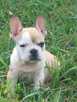 Litter Of 5 French Bulldog Puppies For Sale In Houston Tx Adn