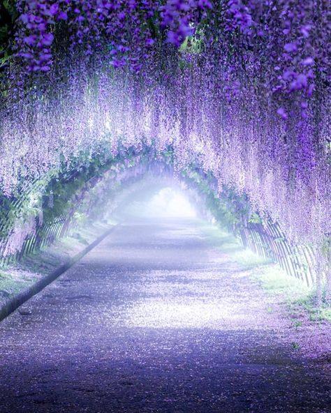 Wisteria tunnel in Kitakyushu, Japan Wisteria tunnel in Kitakyushu, Japan Wisteria tunnel in Kitakyushu, Japan<br> More memes, funny videos and pics on Wisteria Trellis, Wisteria Tree, Wisteria Pergola, Wisteria Garden, White Wisteria, Beautiful Nature Wallpaper, Beautiful Landscapes, Wisteria Tunnel Japan, Wisteria Wedding