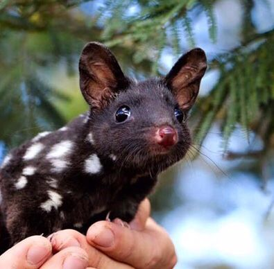 Pin By Anne On Sweet Animals Quoll Unusual Animals Cute Animals