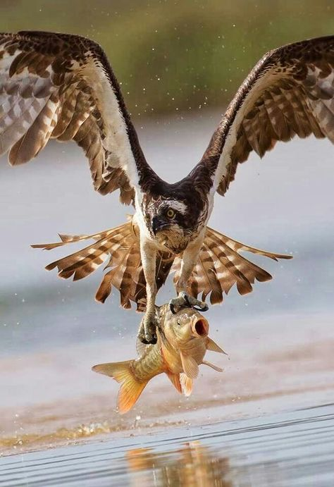 Aw, careful, those claws are a bit sharp! Just minding my own business and along comes this bird and snatches me out of my happy place! OSPREY catching a fish. Check out the Dyfi Osprey Project in West Wales on google and/or YouTube. jp