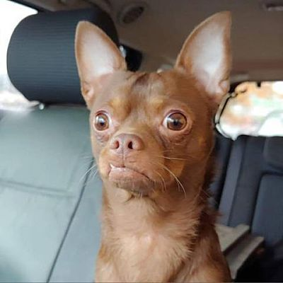 Helena Al Chihuahua Meet Chino A Pet For Adoption