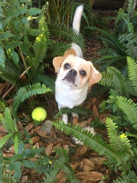 Adopt Rascal On Dogs Chihuahua Mix Pets